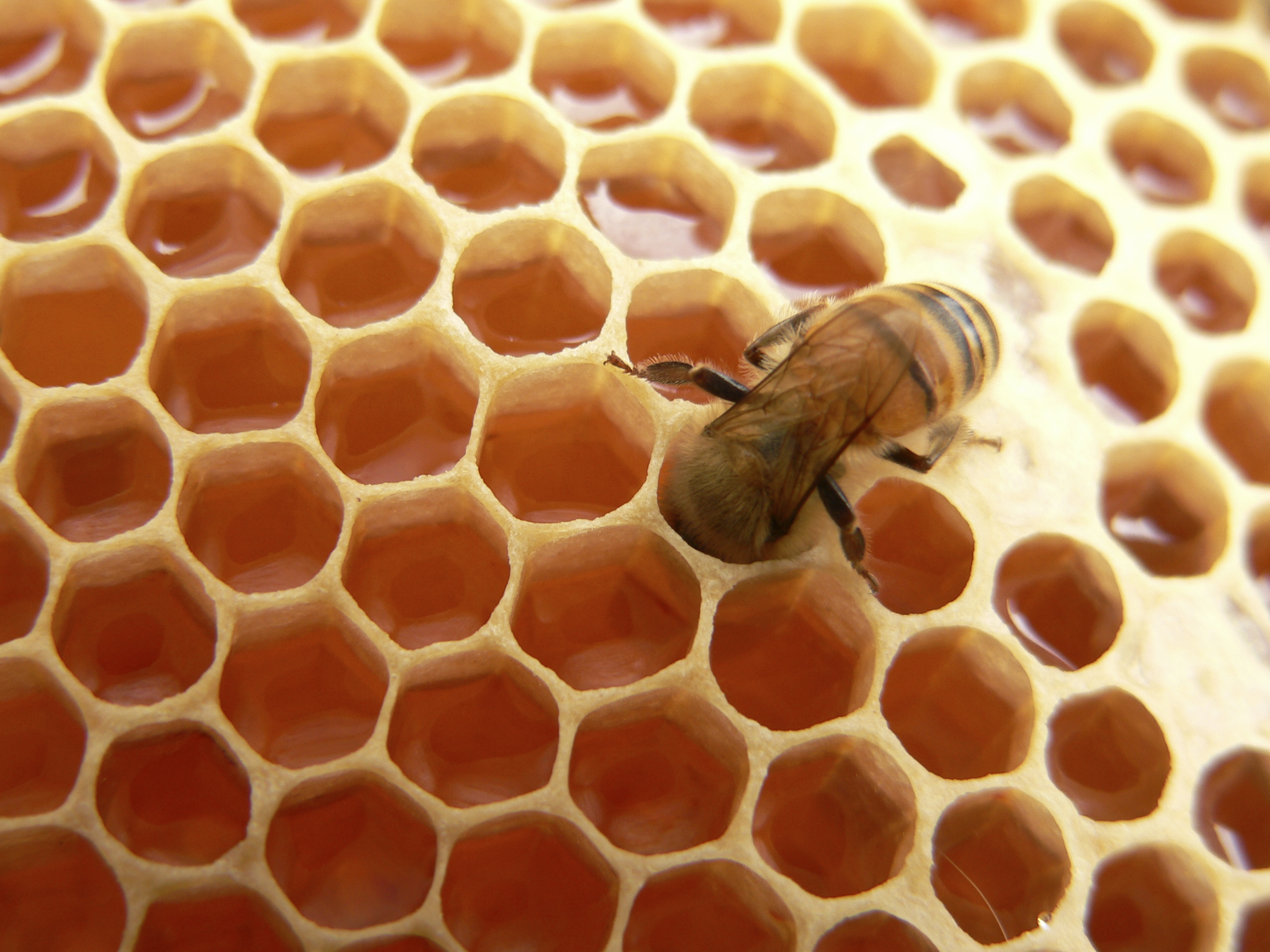 Honeycomb: Bees are better meshers than many engineers